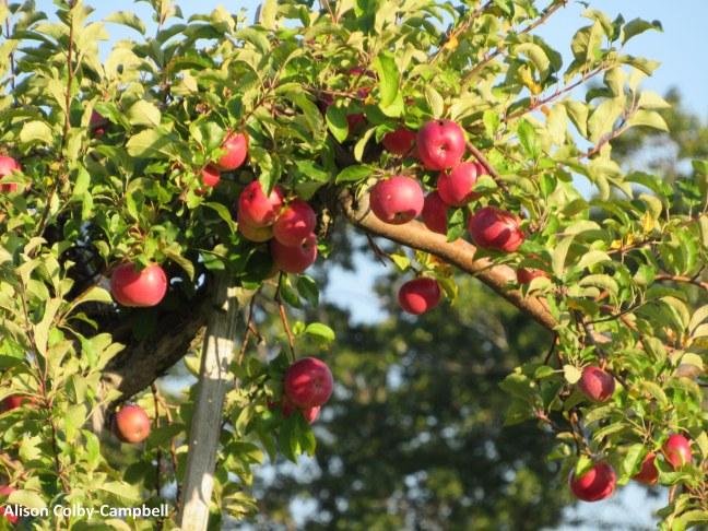 IMG_8458 No Andover Smolak apples contest