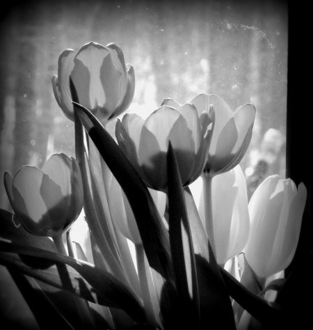 IMG_8670 tulips cropped1 B&W